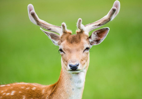 梅花鹿鹿茸的作用有哪些