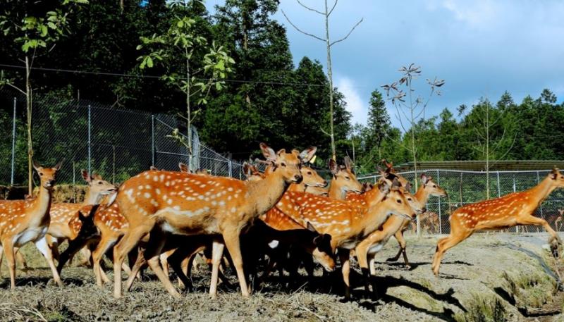 鹿的尾巴有什么功效与作用